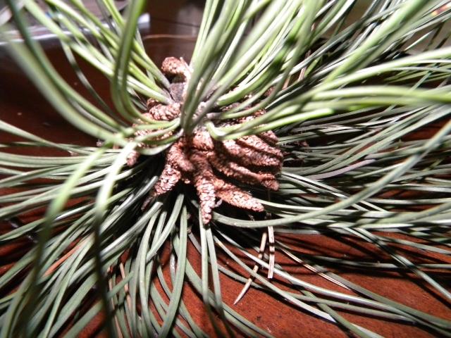 Pinus sp.? 1101190831161141847497470