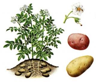 Histoire de la pomme de terre dans a) L'ARDECHE 110330055757673837909231