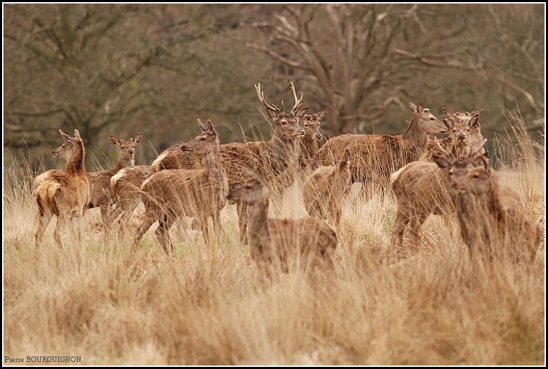 Cerfs et biches à Richmond Park, par Pierre BOURGUIGNON, photographe animalier, Belgique