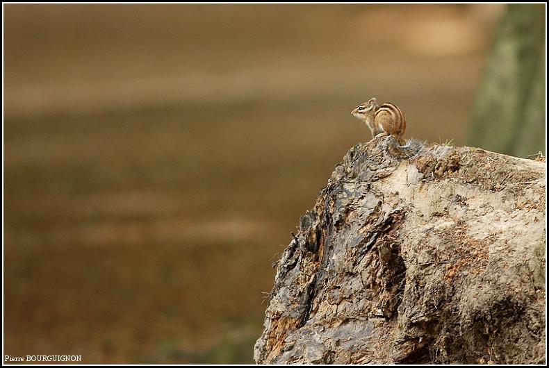 Tamia, écureuil de Corée, écureuil de Sibérie par Pierre BOURGUIGNON, photographe animalier, Belgique
