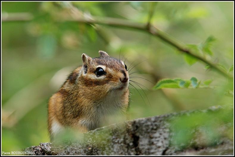 Tamia, écureuil de Corée, écureuil de Sibérie par Pierre BOURGUIGNON, photographe animalier belge