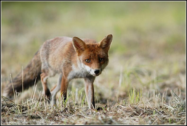 Renard roux (vulpes vulpes) par Pierre BOURGUIGNON, photographe animalier, Belgique