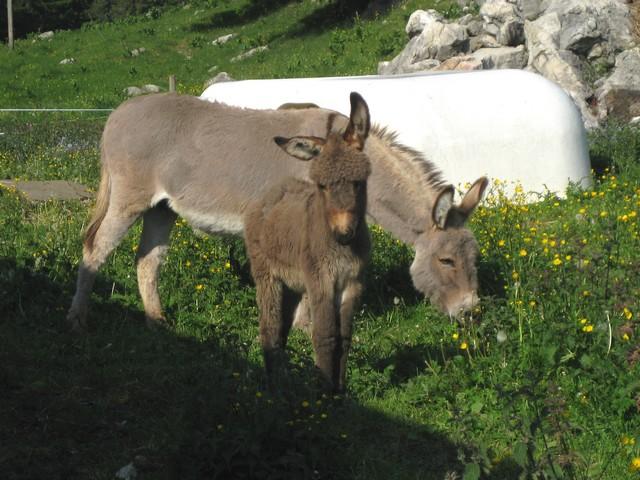 Cuvaloup de Crans (Vaud) 110603090139185828262850