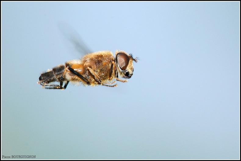 Eristale tenace (tenax) par Pierre BOURGUIGNON, photographe animalier, Belgique