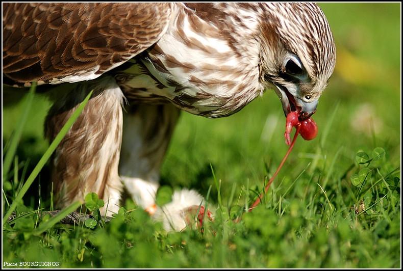Faucon sacré mâle (falco cherug) par Pierre BOURGUIGNON