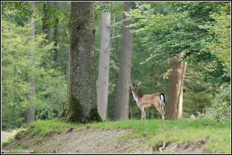 Daim sauvage (dama dama) par Pierre BOURGUIGNON, photographe animalier