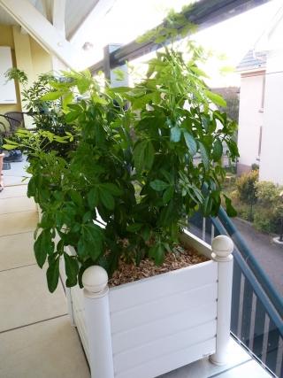 oranger du mexique qui jaunit - au jardin, forum de jardinage