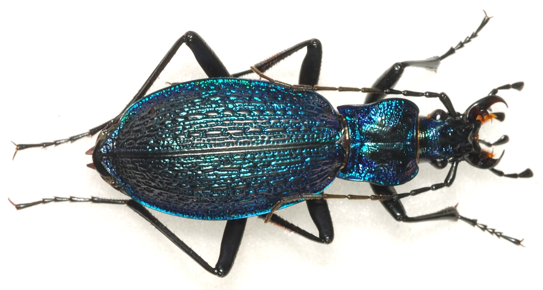 [C.(Chaetocarabus) intricatus] ab.tricolor (Letzn.1850) 111218051459966539194213
