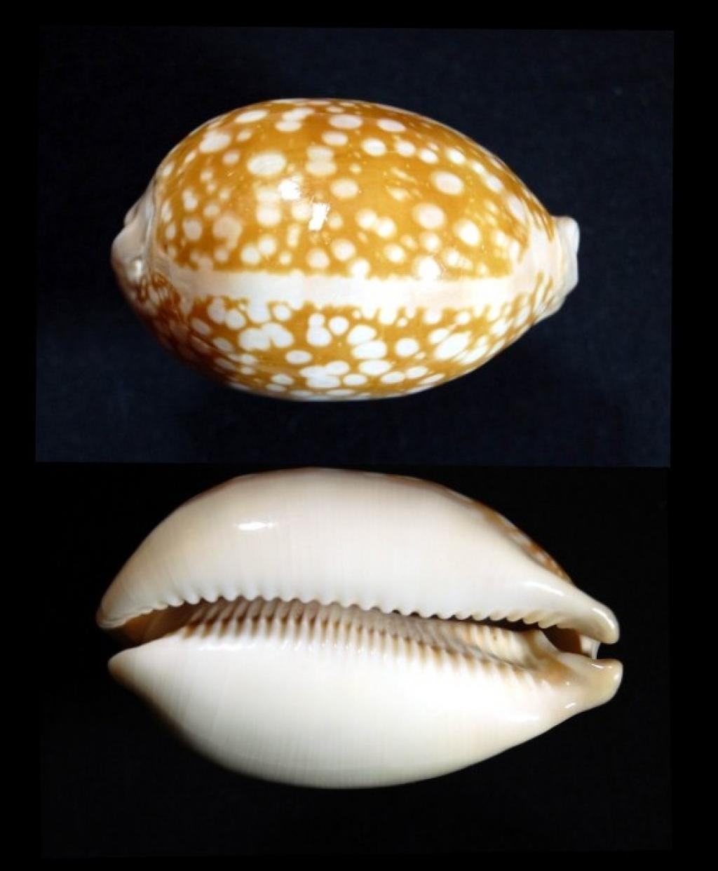 Callistocypraea nivosa - (Broderip, 1827) 1203140616041458779579287