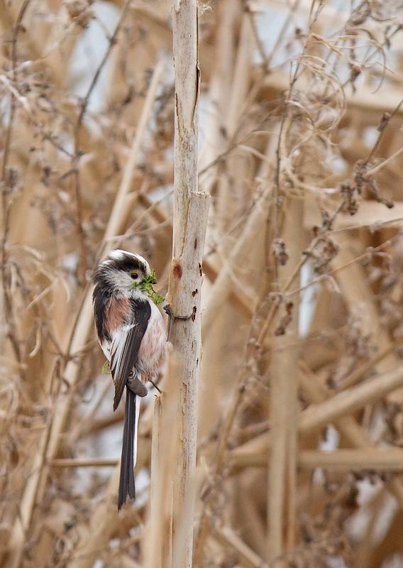 Mésanges longue queue preparant leur nid (photos) 120331082437568519655635