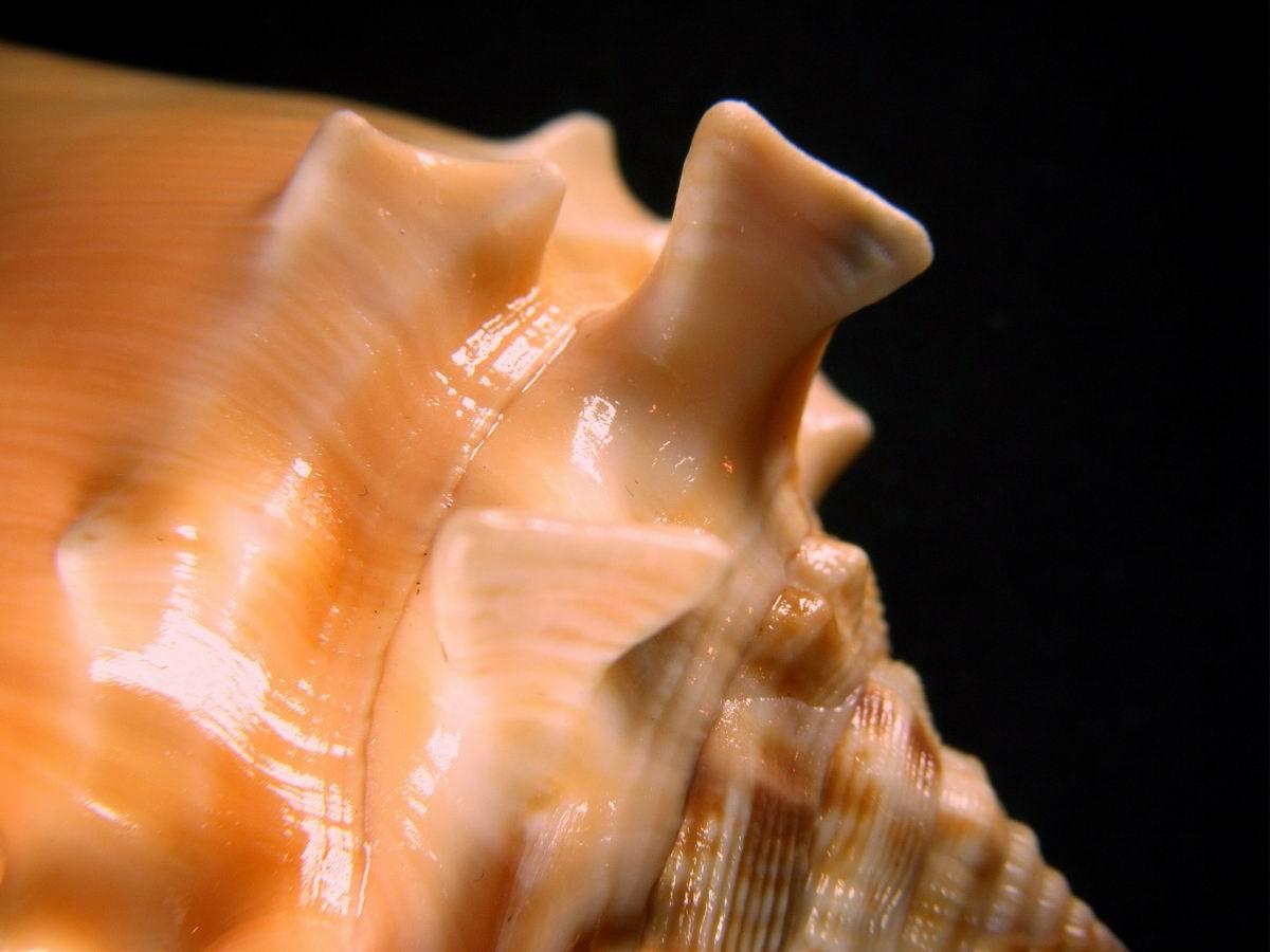 Strombus pugilis - (Linnaeus, 1758) 1204091035191458779698133