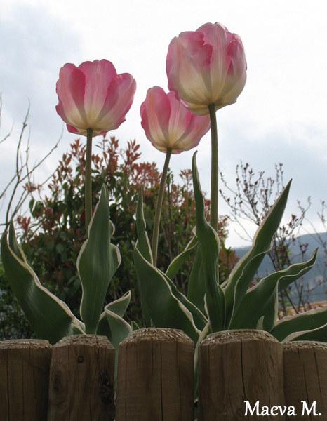 Tulipe 2012  - Page 6 120411082155782989706141