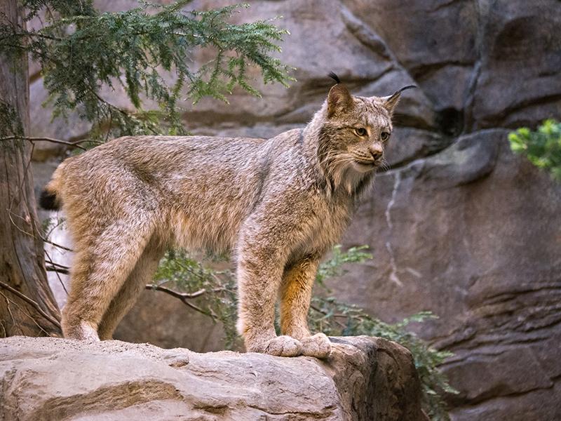 Lynx du Canada 1204150301481433539721741