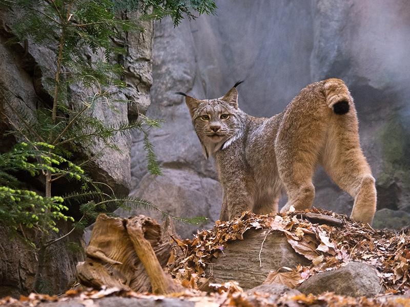 Lynx du Canada 1204150301481433539721744