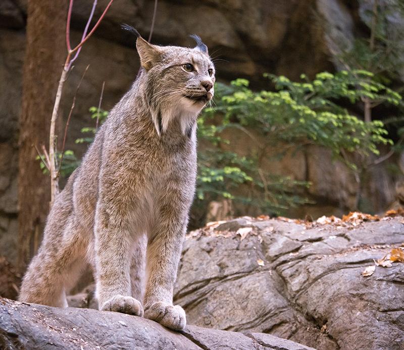 Lynx du Canada 1204150301521433539721746