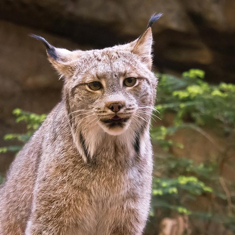 Lynx du Canada 1204150301521433539721747