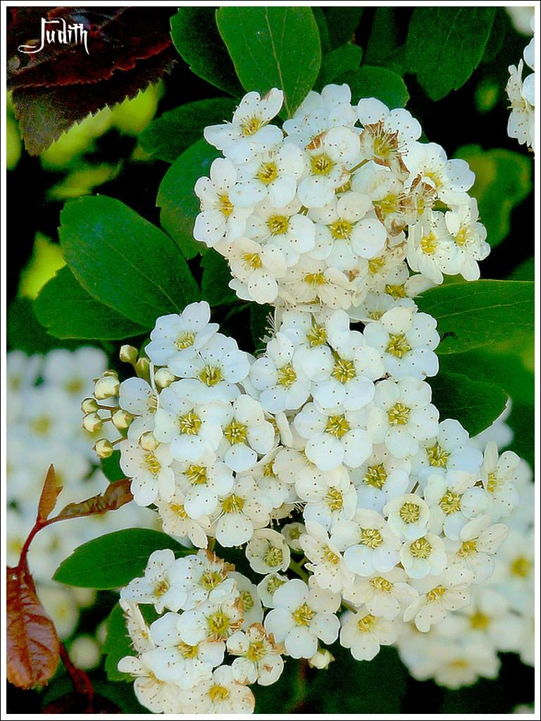 Fleurs blanches à ID