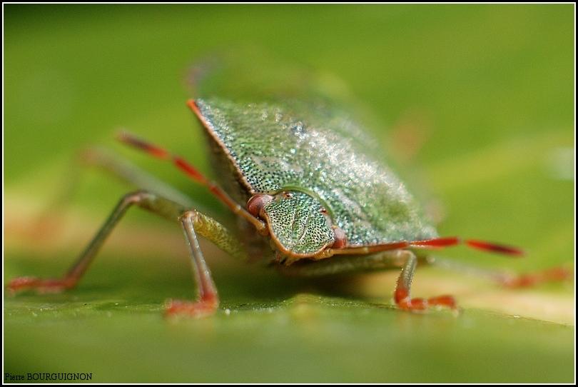 Punaise verte (palomena prasina) par Pierre BOURGUIGNON, photographe animalier