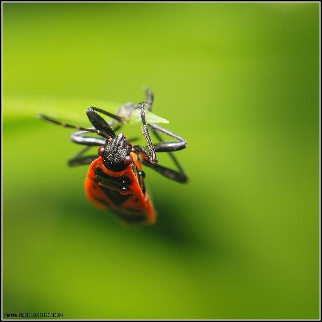 Punaise au corps de feu (Pyrrhocoris apterus) par Pierre BOURGUIGNON, photographe animalier