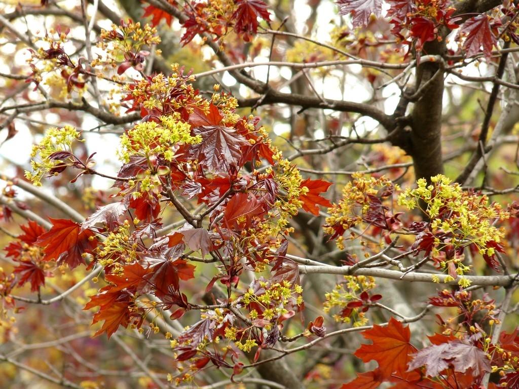 Arbre à feuilles rouges à ID