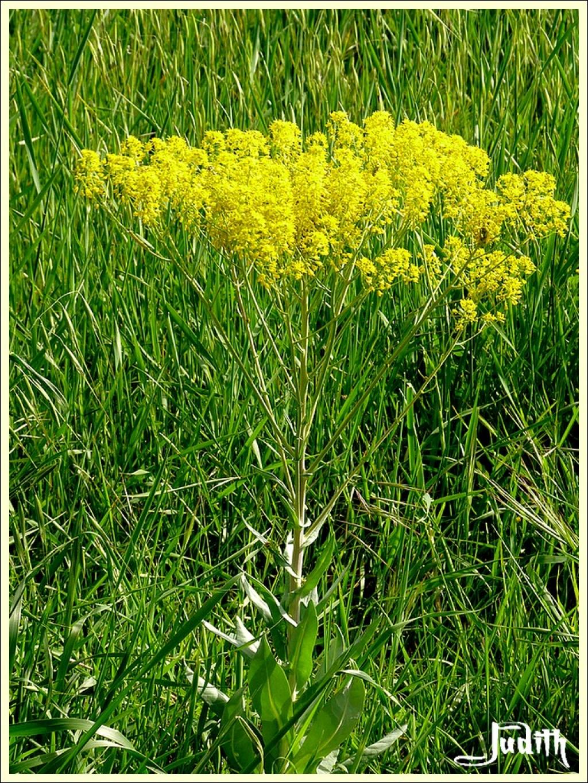 Gde fleur jaune à ID