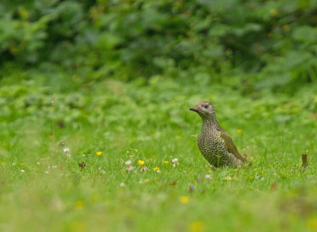 Parc de la Woluwe (goéland - pic vert - castagneux - héron) (photos) 1207200613465685110125682