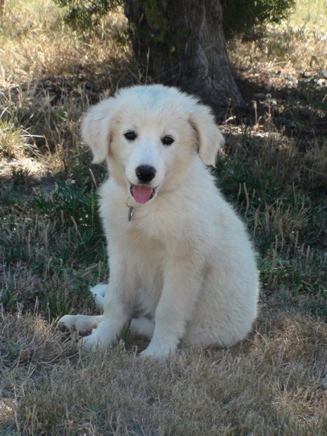 2 chiots femelles 2/3 mois type chien de berger patou, handseer.... 1207210912177972510127273