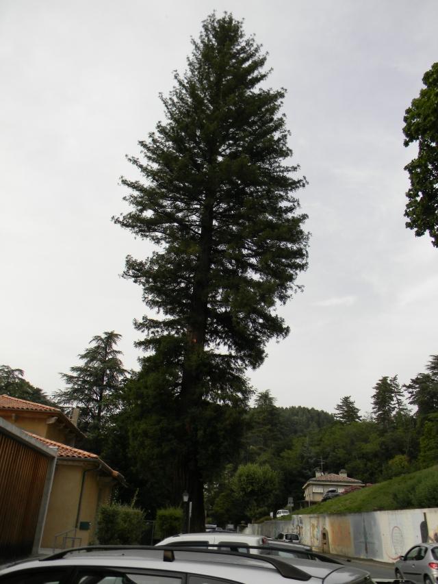 Les 2 Séquoias du parc de Vals-les-Bains en Ardèche dans s) L'ARDECHE MOUN POI 1207280218166738310150571