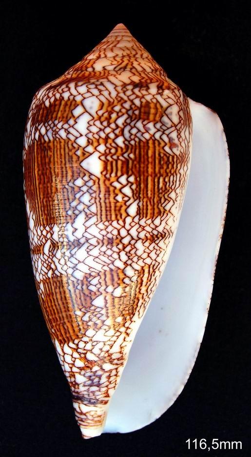 Conus (Cylinder) textile   Linnaeus, 1758 - Page 5 12081506443014587710213395