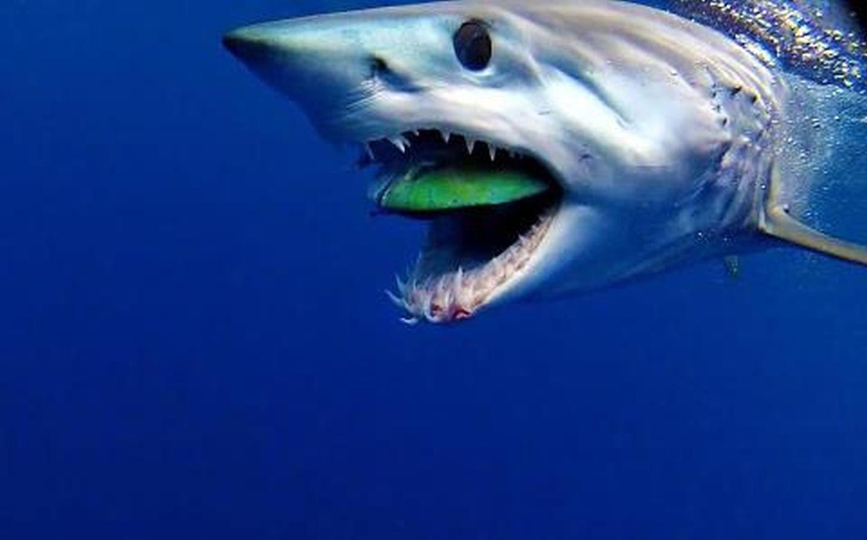Mako Shark Pictures 119