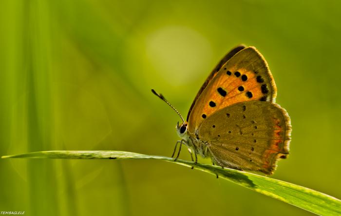 Papillon sur brin d'herbe 2