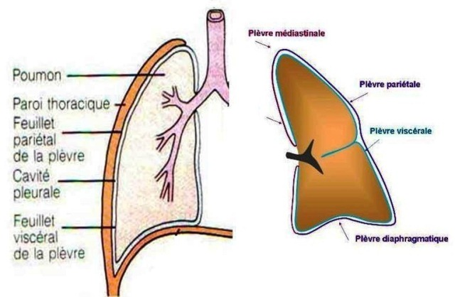 Malignant Pleural Mesothelioma further  likewise Mesh info additionally 5805427 in addition Major Blood Vessels Descending Aorta Thoracic And Abdominal Aorta. on cavities within the thoracic cavity