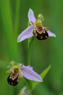 photos de nature - Ophrys abeille