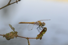 photos de nature - Sympetrum fonscolombii5