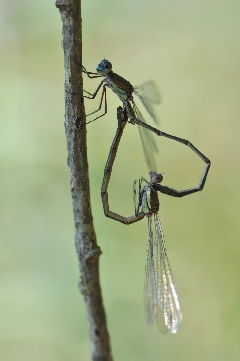 photos de nature - Lestes viridis acc3
