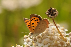 photos de nature - Lycaena phlaeas3