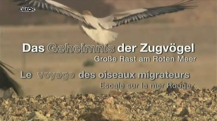 Le voyage des oiseaux migrateurs - Escale sur la mer Rouge [TVRIP]