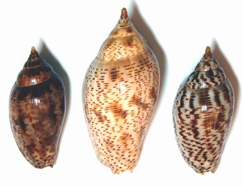 Harpulina lapponica - (Linnaeus, 1767) 12100804060914587710411185