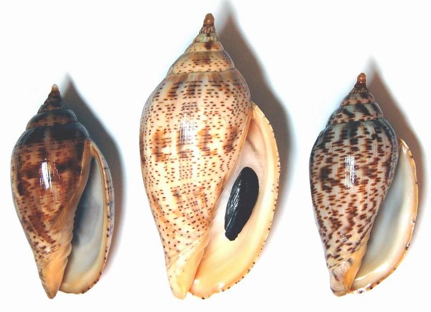 Harpulina lapponica - (Linnaeus, 1767) 12100804061214587710411186