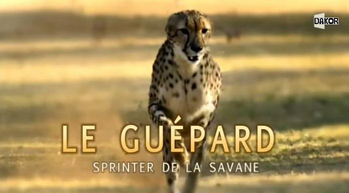 Le guépard, sprinter de la savane [TVRIP]