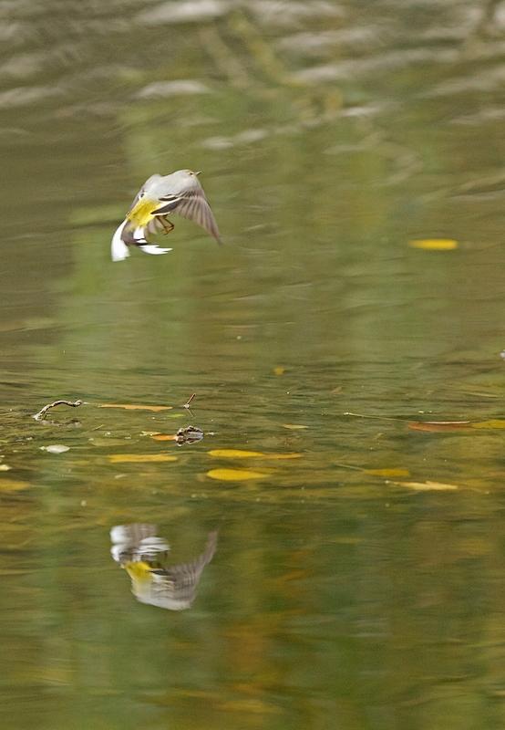 Martin pêcheur et bergeronnette des ruisseaux 1210200418455685110456225