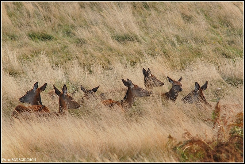 Biches élaphes à Richmond Park, par Pierre BOURGUIGNON, photographe animalier, Belgique